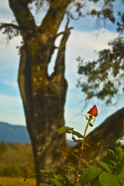 Red Rose in Vineyard, Sonoma County, CA