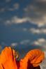 Happy Bee and Orange Flower, Oakland CA