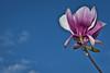 Tulip Magnolia and Clouds, Piedmont CA