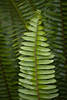 Fern Leaves After Rain, Piedmont Ca