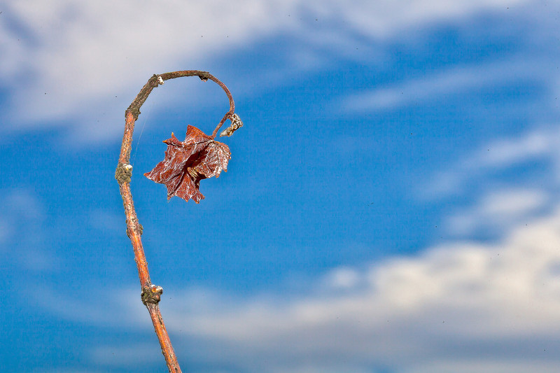 Withering Grape Vine Leaf, Napa CA