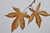 Decaying Liquidamber Leaves, Piedmont CA