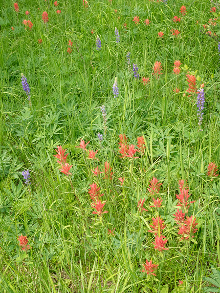 Mixed Lupine and Indian Paintbrush