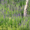 Purple Lupine Surrounding Aspen Trunk