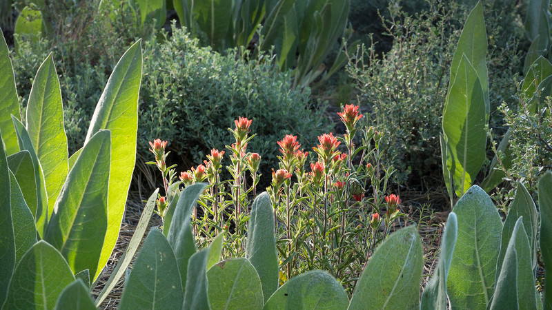 Indian Paintbrush Framed by Greenery