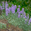 Clump of Lupine Growing on Edge of Hill