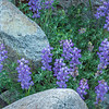Purple Lupine and Rocks