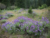 Lupine Field Near Banks of Indian Creek, CA