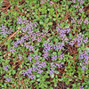 Purple Ground Cover, Green Leaves, and Pine Needle Mixture
