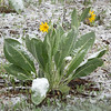 Summertime Snow on Balsam Root Plant