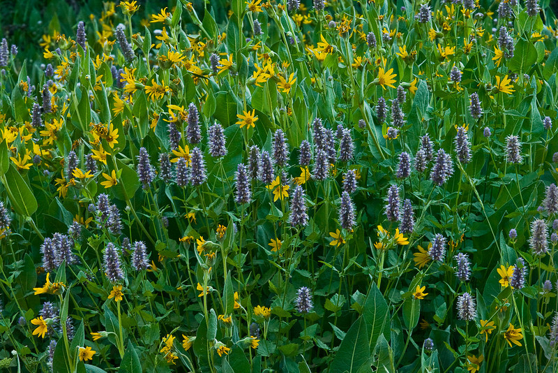 Field of Yellow and Purple Wildflowers, Plumas National Forest, CA