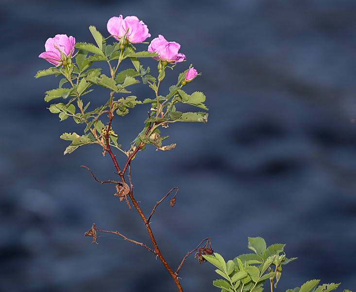 Wild Roses on Hat Creek Shoreline