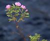 Wild Roses on Hat Creek Shoreline