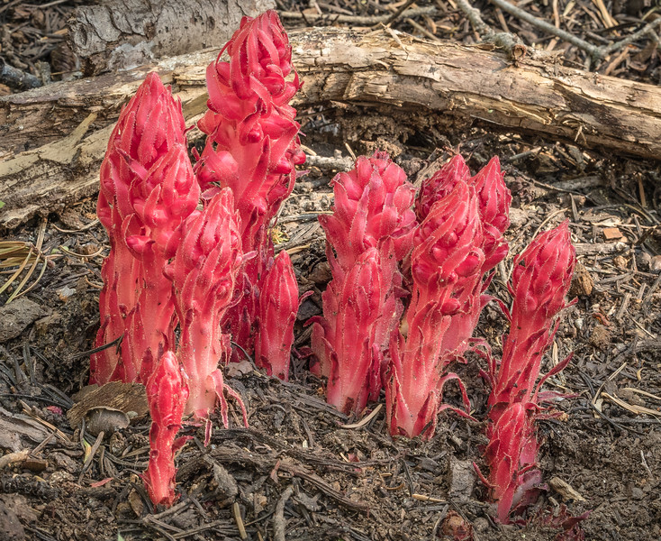 Snow Plant and Brush - Late June, 2016 (some of you saw a withered version of plant and asked about it-this shot is from last year)