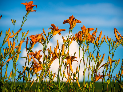 Tiger Lilies on a Hill