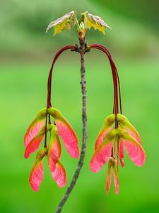 Fresh Pink Maple Seeds
