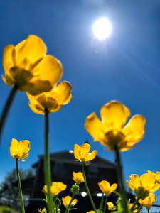Buttercups in the Sun