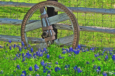 Wagon Wheel Bluebonnets