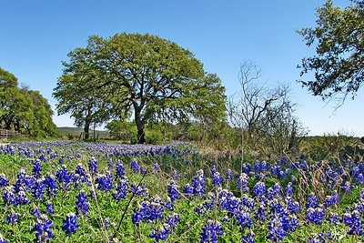 Bluebonnets and Oak Tree
