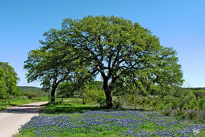 Oak Tree and Bluebonnets