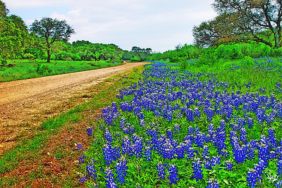 Bluebonnet Back Road