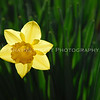 Floating Jonquil