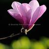 Japanese Tulip
