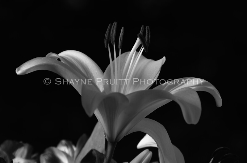Lily in Black and White