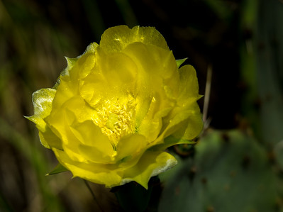 Prickly Pear Cactus (Opuntia engelmannii var. lindheimerii)