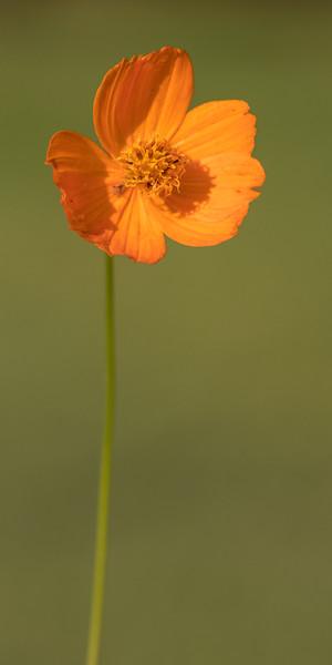 Orange Wildflower 3x6 format