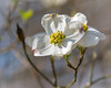 Side lit Dogwood