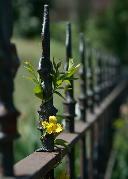 Carolina Jasmine climbing an iron fence in Natchez, Mississippi.