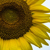 Sunflower with Dew