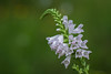 False Dragonhead Obedient Plant