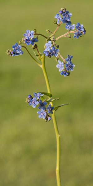 Blue Wildflowers 3x6 format