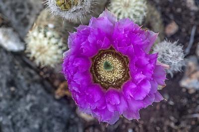 Lace Cactus (Echinocereus reichenbacherii)