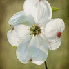 Dogwood - Cropped for an 8x10 format