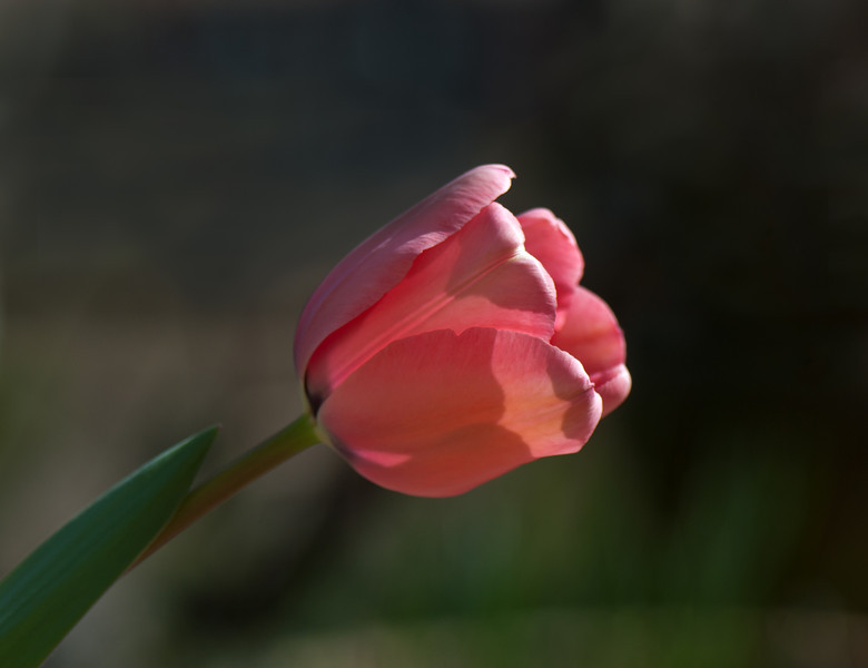 Spring Tulip - I love tulips! I am so excited that my tulips are blooming.