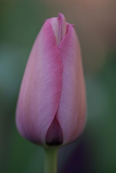 Pink Tulip Bud
