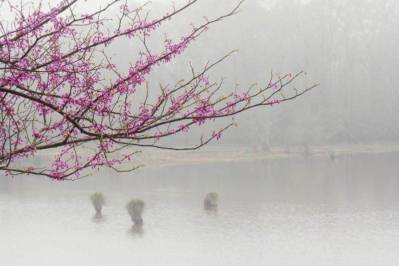 Redbud Over Foggy Morning Reservoir