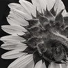 Sunflower in Black & White