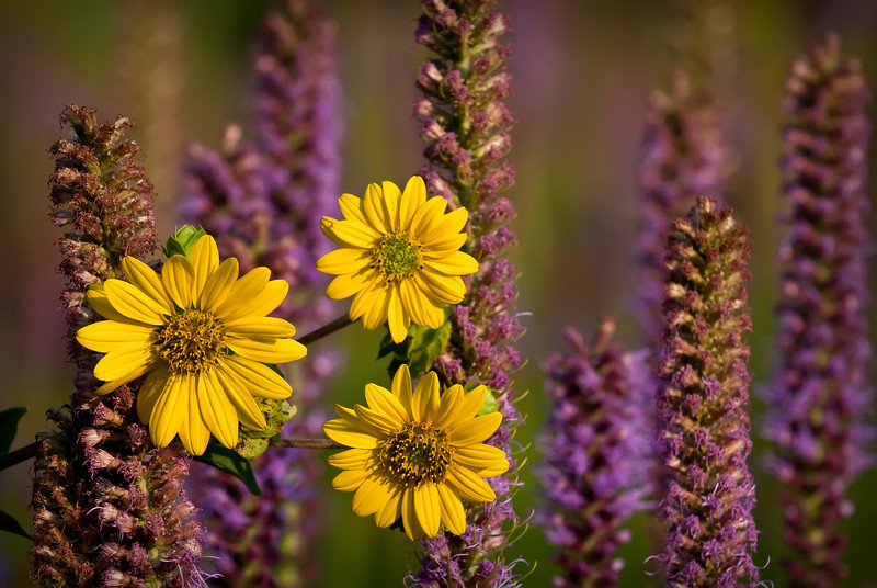 Rosinweed and Blazing Star