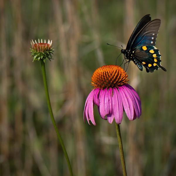 Black Swallowtail Butterfly on Purple Cone-flower