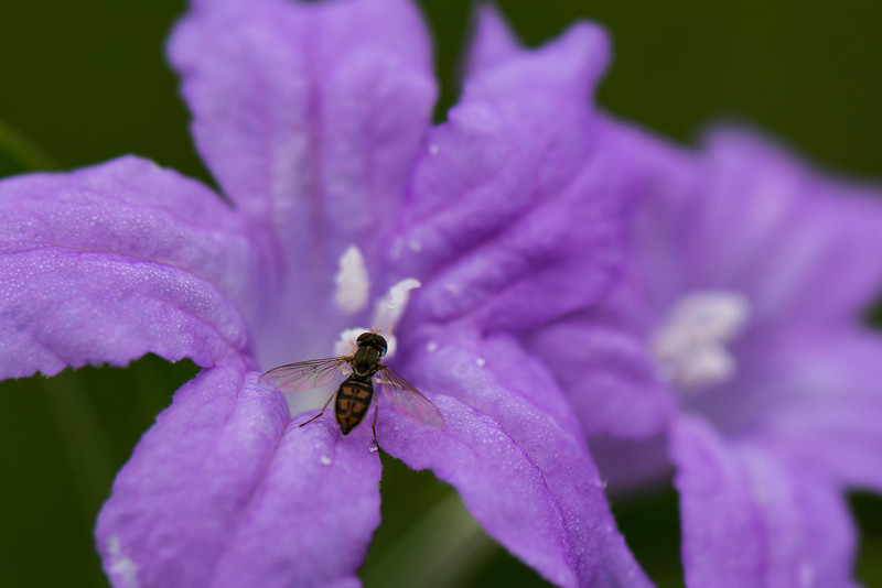 Hover Fly On Wild Petunia.