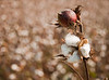 Mississippi Cotton