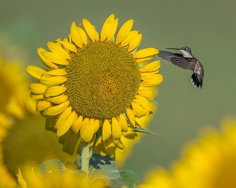 Hummingbird At Sunflower