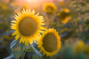 Backlit Sunflowers