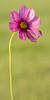 Pink Wildflower 3x6 format