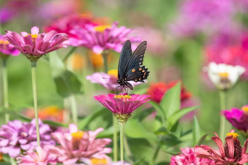 Pipevine Swallowtail Among The Zinnias