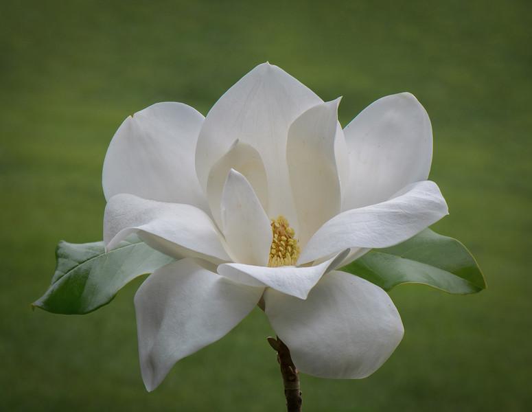 Mississippi Magnolia
